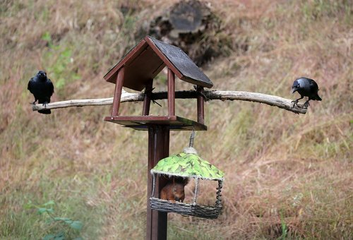 jackdaws  squirrel  bird feeder