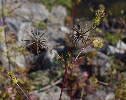 jacob ragweed seed pods seed weed