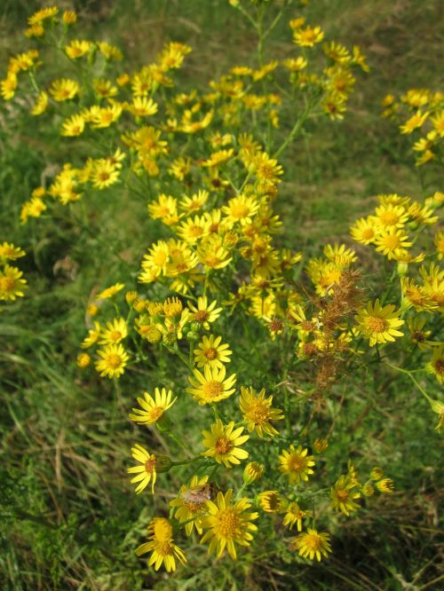 jacobaea vulgaris ragwort common ragwort