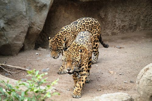 jaguars cats animals