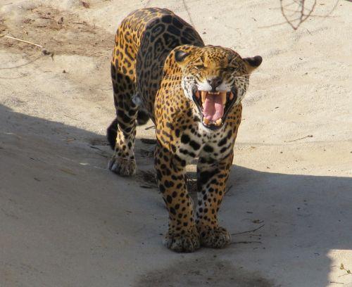 jaguar growling snarling