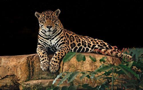 jaguar resting rock