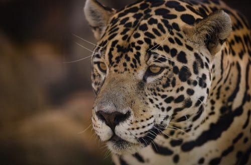 jaguar panthera onca eyes