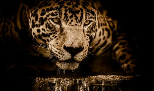 jaguar water stalking