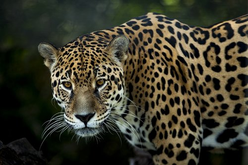 jaguar  stains  look