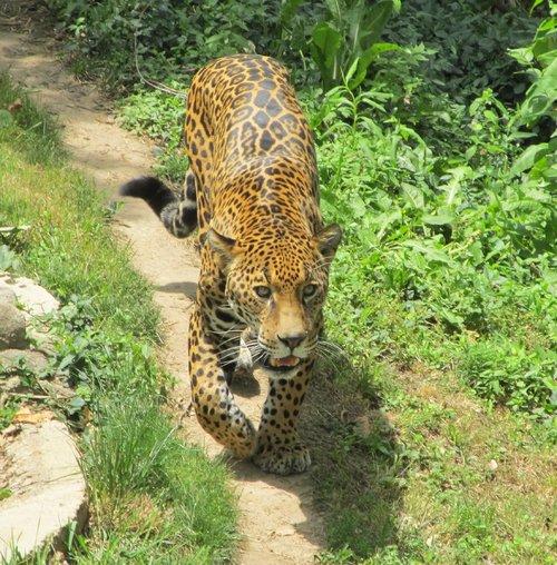 jaguar  feline  animal
