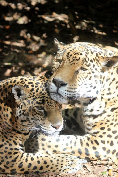 jaguar cat zoo