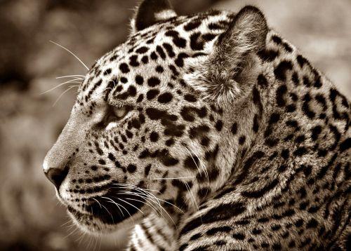 jaguar halbwüchsig sepia