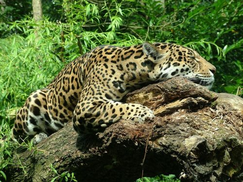 jaguar feline sleep