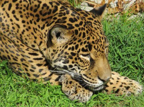 Jaguar Head