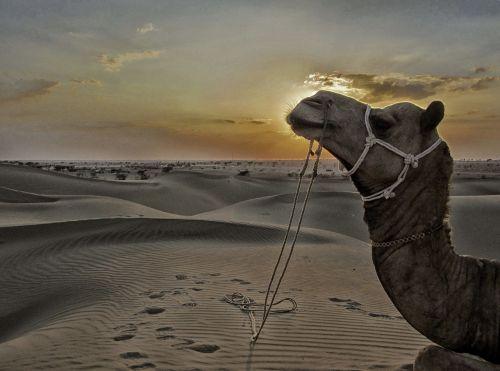 jaisalmer,sam smėlio kopos,smėlio kopos,dykuma,rajasthan,Indija,neįtikėtina Indija,vijay dhankhar,jaudulys pienelis,turizmas,Rajasthan turizmas,ta dykuma,kupranugaris,kupranugario vairuotojas,Giminaitis,žygis kupranugarius,kelionė,kelionė,kelionė,kelionė į rajastaną,kelionė