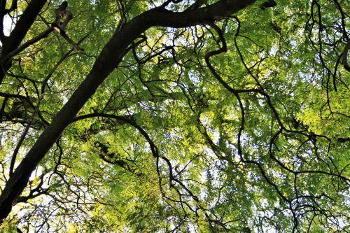 Jacaranda Overhead