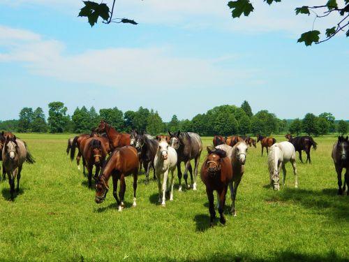 janow podlaski horse stocks