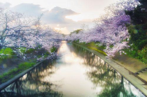 japan cherry yoshino cherry tree