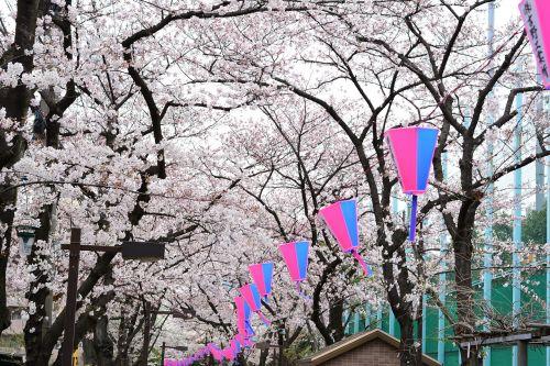 japan cherry blossom full open