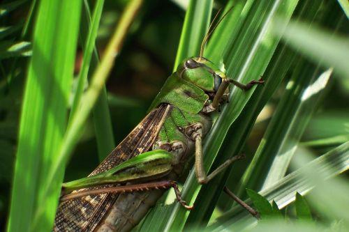 japan natural insect