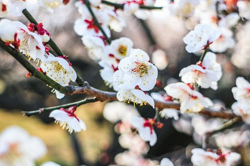 japan  plum blossom  plum