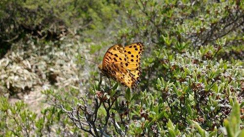 japan  butterfly  argynnis