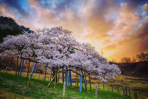 japan  cherry blossoms  sunset