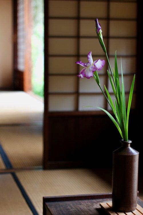 japan  iris  purple
