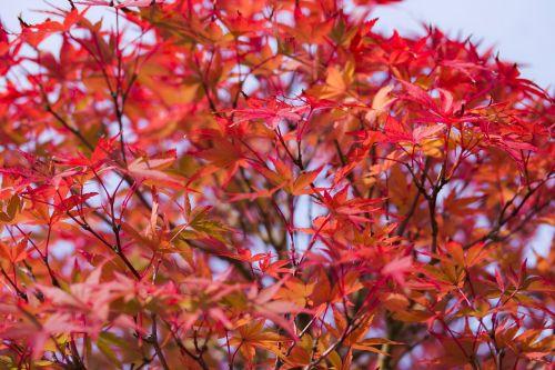 japan maple maple leaf red leaf