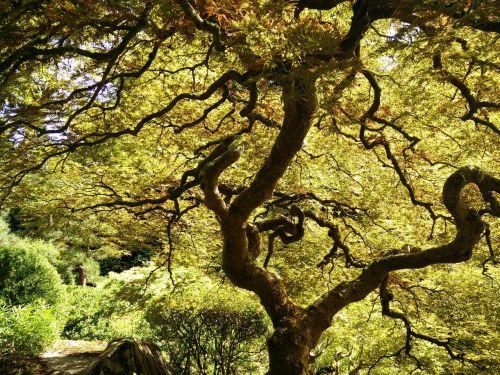 japanese tree japanese maple