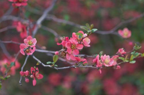 japanese quince chaenomeles flowering