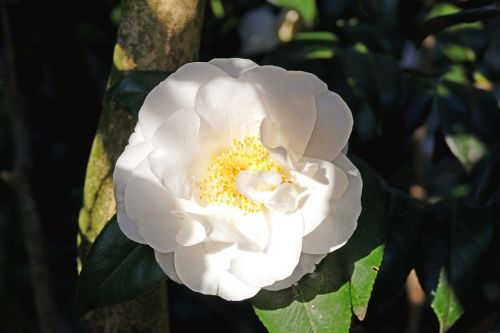 japanese camellia white large blooms