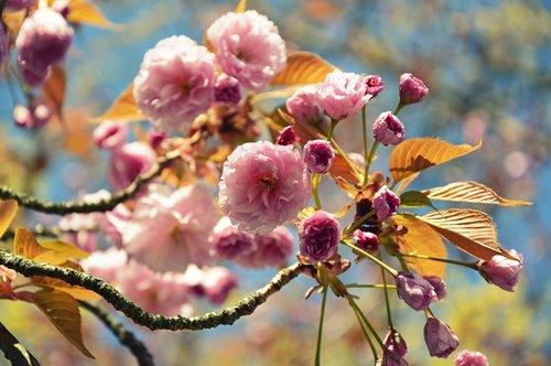 japanese carnation cherry  japanese flowering cherry  prunus