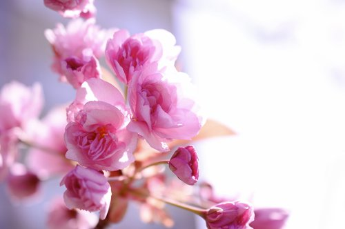 japanese carnation cherry  japanese flowering cherry  cherry blossom