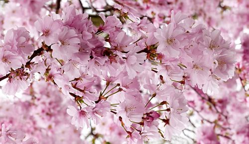 japanese cherry pink tree