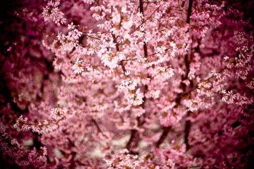 japanese cherry prunus serrulata hill cherry