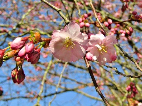 japanese cherry  spring  pink