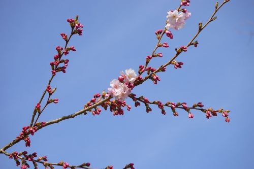 japanese cherry trees bud branch