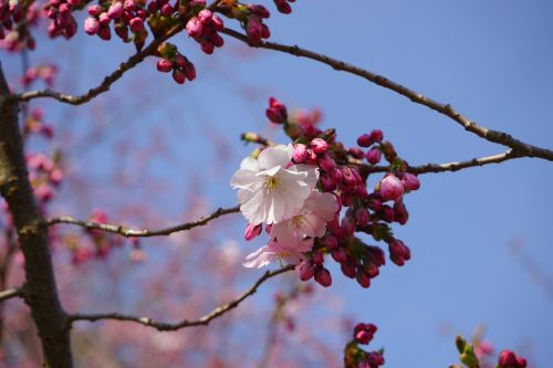 japanese cherry trees blossom bloom