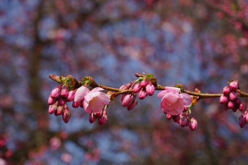 japanese cherry trees flowers pink