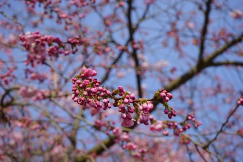 japanese cherry trees bud red