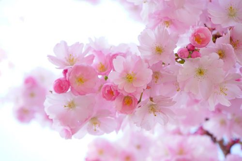 japanese cherry trees flowers spring