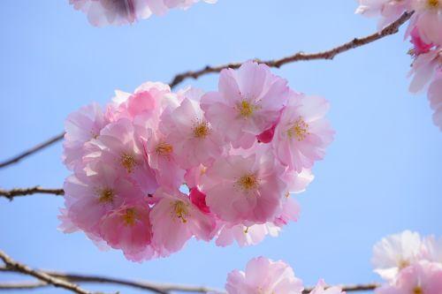 japanese cherry trees flowers japanese flowering cherry