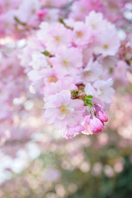 japanese cherry trees blossom bloom
