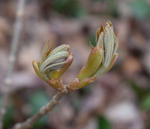 atidaryti japonų kaštonų lapai,kaštonas,lapai,krūmas,pavasaris,gamta,augalas,sodas,auga