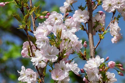 japanese column cherry  prunus serrulata  ornamental cherry