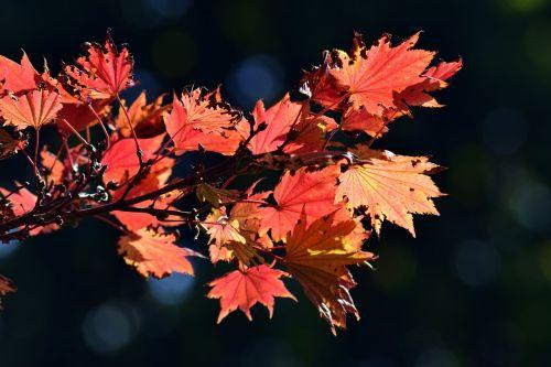 japanese fire maple aureum autumn