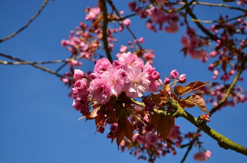 japanese flowering cherry cherry blossoms tree