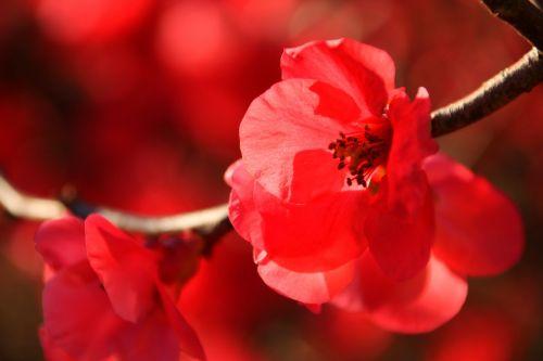 japanese flowering crabapple winter sun