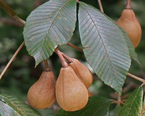 japanese horse chestnut pods horse chestnut nut pods