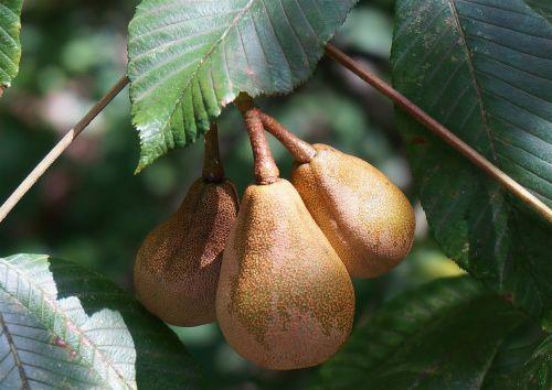 japanese horse chestnut pods rain wet horse chestnut