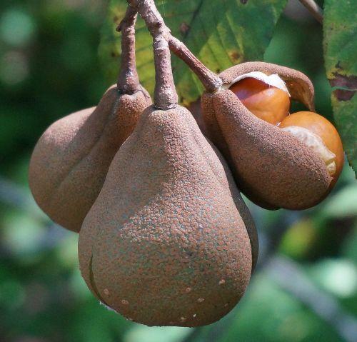 japanese horse chestnut pods opening horse chestnut