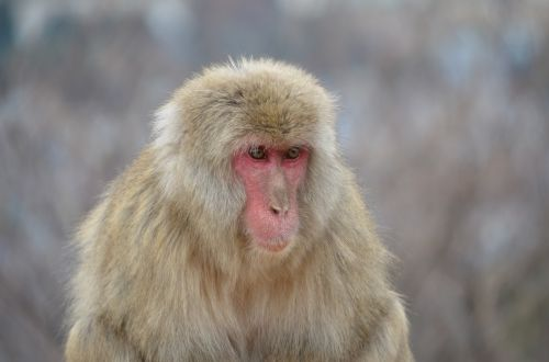 japanese macaque monkey primate
