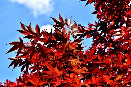 japanese maple bush red